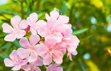 oleander flowers5 photo