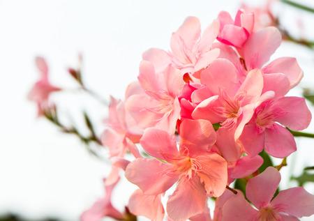 oleander flowers1 photo