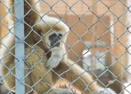 eye contact from gibbon  photo