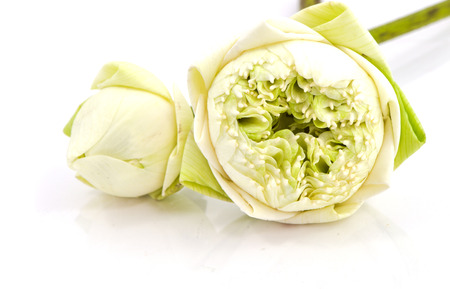 nelumbo: white NELUMBO NUCIFERA flower