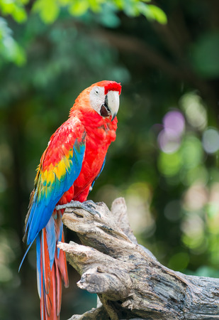 green winged macaw: red macaw parrot stand on branch Stock Photo
