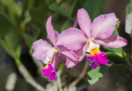 cattleya: pink hybrid cattleya orchid