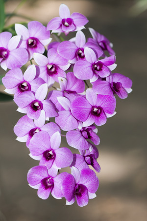 purple hybrid Dendrobium orchid flower photo