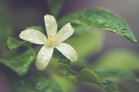 jessamine: Goccia di acqua sul polline Orang Jessamine fiore in effetti retr�