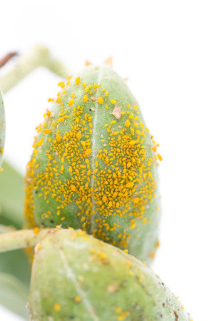 micro climate: Aphid Infestation Stock Photo