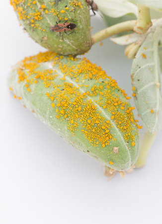 wingless: Aphid Infestation Stock Photo