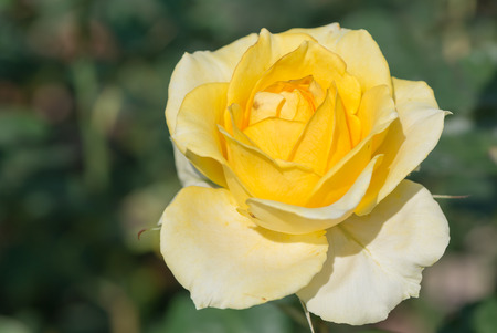 rosas amarillas: Rosa amarilla en el jardín