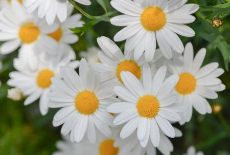 daisy flowers: macro of beautiful white daisies flowers