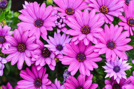 margarite: macro of beautiful pink daisies flowers Stock Photo