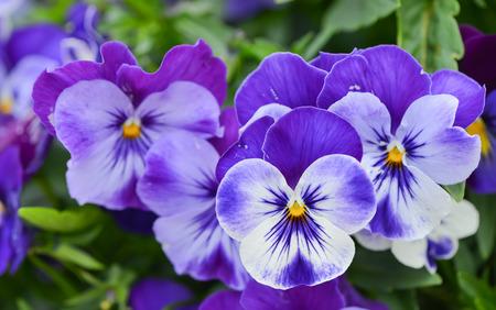 パンジーの花植物の自然な背景、夏の時間