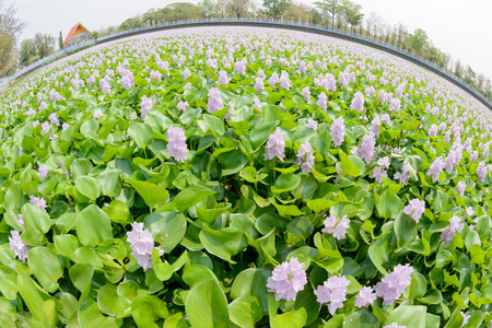 fish eye lens: Flower of Water Hyacinth field in Thailand photographed by a lens \Fish eye\