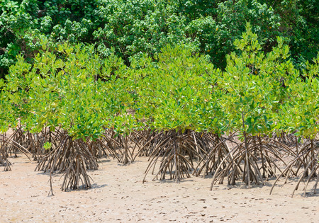 forestation: mangrove forestation in Thailand