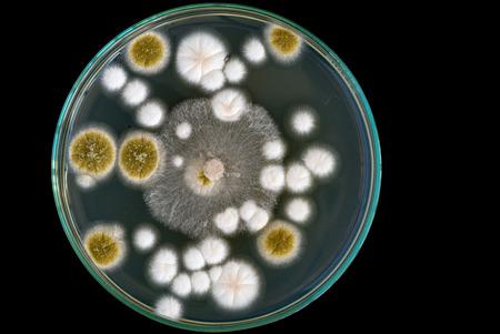 petri: macro of fungi on petri dish Stock Photo