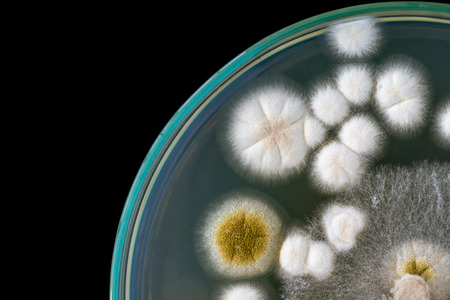 fungi: macro of fungi on petri dish Stock Photo