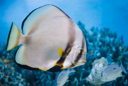 A colorful tropical copperband butterflyfish, Chelmon rostratus on blue background