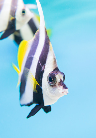 chaetodontidae: A colorful tropical copperband butterflyfish, Chelmon rostratus on blue background