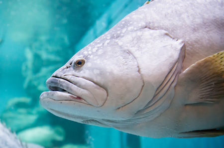 grouper: close up of Giant grouper or Queensland grouper Stock Photo