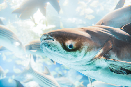 freshwater: giant catfish in freshwater Thailand