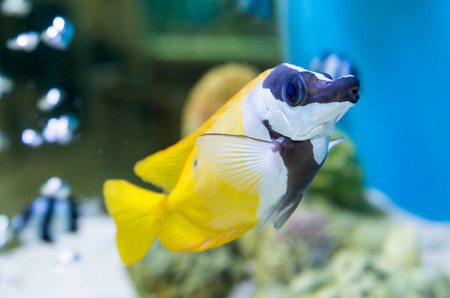 choral: cute yellow tang swimming in aquarium