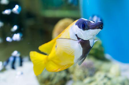 tang: cute yellow tang swimming in aquarium