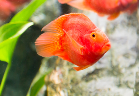 aquaria: red blood parrot fish in Thailand