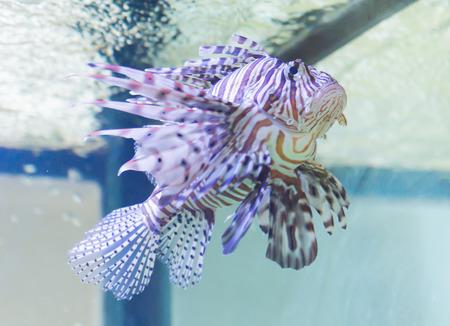 lionfish: Portrait of lionfish in sea thailand Stock Photo