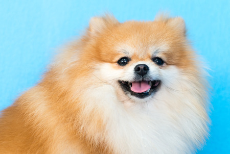blue face: cute brown pomeranian dog on blue background