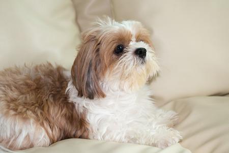 sopa: Cute brown Shih-Tzu dog sit on sopa