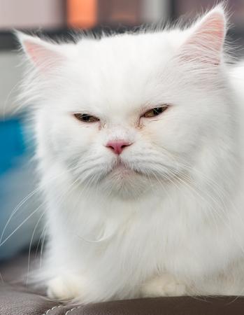 cat eye: Close up face cute white Persian cat Stock Photo