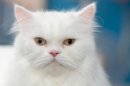 white fur: Close up face cute white Persian cat Stock Photo