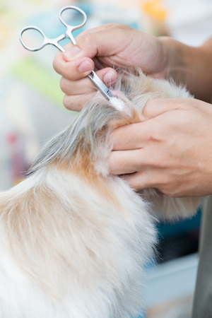 cotton wool: cleaning ear dog by cotton wool.