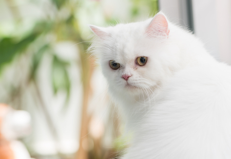 turn back: Cute white Persian Cat turn back Stock Photo