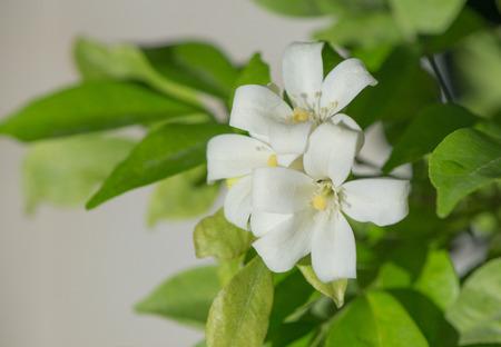 philadelphus: Petal of Orange jasmine flower