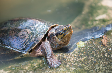 terrapin: little cute terrapin in Thailand