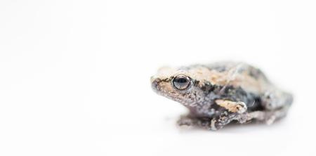 rana arvalis: baby frog isolated on white focus on eye