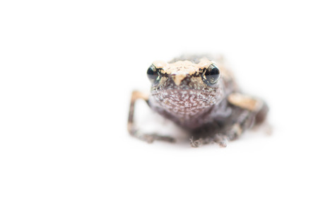 rana arvalis: baby frog isolated on white focus on eye