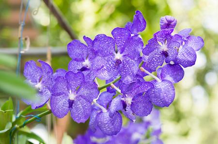 hybrid: purple hybrid vanda orchid blooming.