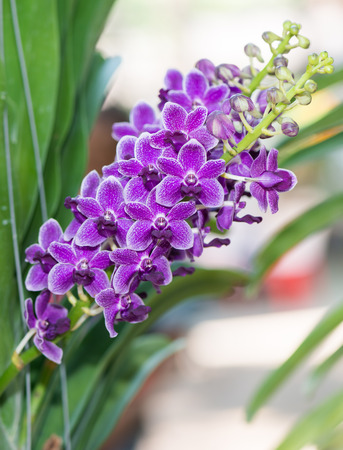 hybrid: Hybrid small purple vanda flower orchid