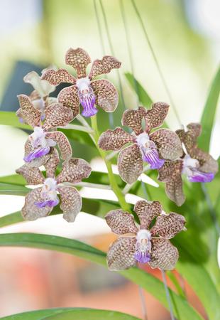 hybrid: brown hybrid vanda orchid blooming