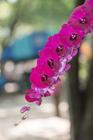 hybrid: vibrant red hybrid dendrobium flower orchid Stock Photo