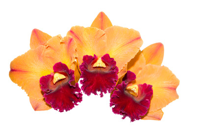 cattleya orchid: Hybrid orange and red cattleya orchid flower isolated on white Stock Photo