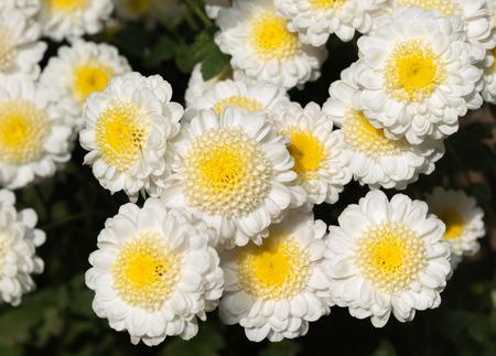 hybrid: Hybrid cute white daisy flower