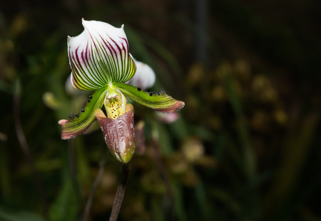 lady slipper: Lady Slipper Orchid Paphiopedilum on dark tone