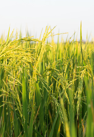 harvest: rice plant in paddy field selective focus on seed