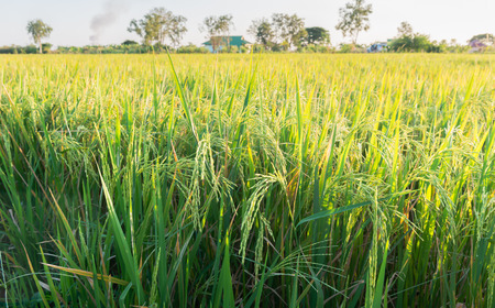 peaceful background: rice plant in paddy field