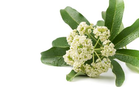 odorous: Alstonia scholaris flower isolated on white