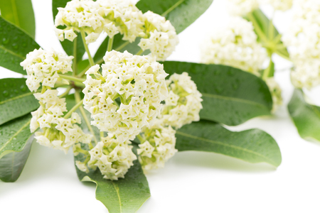 perfumed: Alstonia scholaris flower on white background