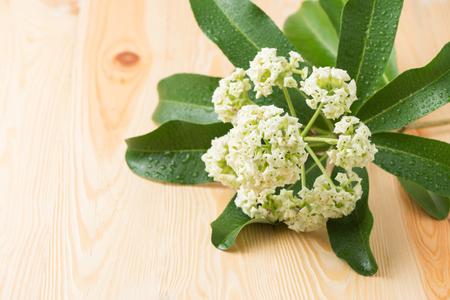 perfumed: Alstonia scholaris flower on wood background Stock Photo