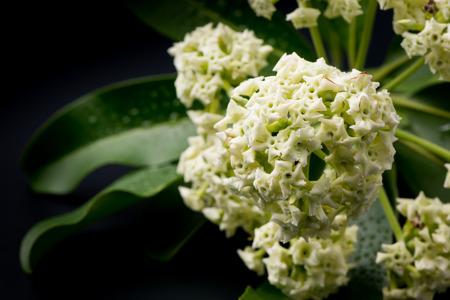 perfumed: Alstonia scholaris flower on black background