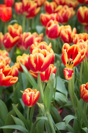 tulipan: kolorowe żółty i czerwony kolor tulipan kwiat Zdjęcie Seryjne